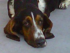 Hi there, my name is Jet and I'm 5 year old basset hound in So Cal. You might think my name is Jet because I'm all black but I'm not. Or, you might think my name is Jet because I'm super speedy… While I am pretty quick about grabbing things off the floor to eat, I'm just average basset speed. Fast when I want to be and slow when you are in a hurry. I think my name is Jet because I'm a cool dude and Jet is a cool name.
