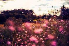 fields of fluffy pink