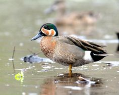 Blue winged x Green winged teal