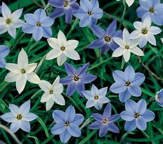 "Common Name: Spring Starflower  50/$12.00  Hardiness Zone:  5-9 S / 5-10 W    Height: 3-5""    Deer Resistant: Yes    Exposure: Full or Part Sun    Blooms In: April-May    Spacing: 3-4""    Ships as: Bulb"