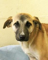 Venus is an adoptable Shepherd Dog in New Rochelle, NY. You can meet this dog today! We are open seven days a week from 10am to 4pm and Thursdays from 2pm to 8pm! For information about how to adopt, c...