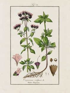 "Antique prints of ""Oregano, Origanum vulgare"" from Eduard Winkler Medicinal Prints 1832"
