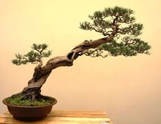 Bonsai Art and Ideas Shared :  More At FOSTERGINGER @ Pinterest