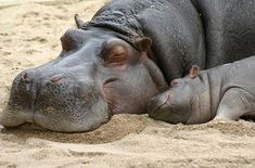 awwww. hippo momma and baby.