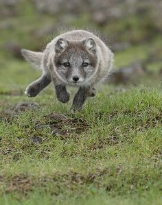 Arctic Fox Cub by Menno Schaefer