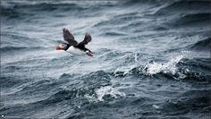 Iceland, landscape, photography, nature, travel, Images Beyond Words, Serge Daniel Knapp, puffin, ocean, fly away, start, animal, bird, art