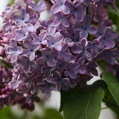 Flieder Syringa vulgaris 'Blue Skies' - Blaue Flieder - Flieder-Premium Fliedertraum