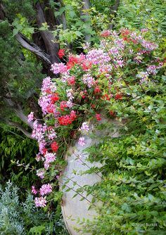Ivy geranium ...so perfect placed in the garden.