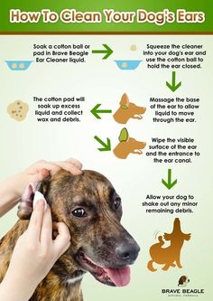 Regular ear cleaning Regular ear cleaning is an important aspect of dog health. Check out this great infographic from Brave Beagle detailing How to Clean Dogs Ears! Chien Goldendoodle, Dog Health Tips, Pet Health, Dog Information, Dog Facts, Beagle Dog, Pet Dogs, Puppy Care, Dog Care Tips