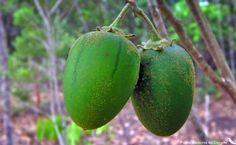 Solanum oocarpum