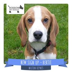 #NewDoggySignUp Bertie is a typical young Beagle who adores attention, long walks and making new friends :)