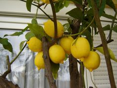 Growing Lemon Trees In Containers - If you live in a cooler climate, or simply have limited space, but still want a lemon tree, container lemon trees may be your best option. Take a look at how to grow a lemon tree in a pot in this article. Growing Lemon Trees, Growing Tree, Indoor Plants, Garden Plants, Vegetable Garden, Fruit Garden, Citrus Trees, Fruit Trees, Container Design