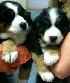 Very cute Bernese Mountain Dog puppies