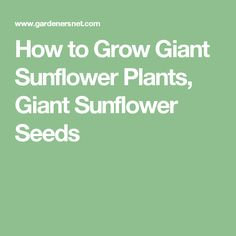 How to Grow Giant Sunflower Plants, Giant Sunflower Seeds