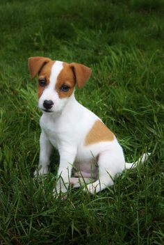 I think we got ourselves a purebred jack Russell from the pound!  He was damaged goods, so his owner probably dumped him,