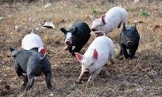 Favorecida por el creciente consumo interno y el mercado internacional, la producción porcina se expande a todas las regiones del país gracias a los pequeños y medianos criadores que representan más del 90 %. A fines de 2010, 12 criadores porcinos de