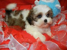 Shih Tzu/Bichon Frise  Fairwood Pet Center, from our home to yours, puppies & so much more!   425-271-9344  www.fairwoodpetcenter.com  Follow us on Facebook & Twitter, @FairwoodPets