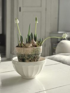 Forced muscari bulbs | Gardenista The moss growing on the outside of the white clay pot.