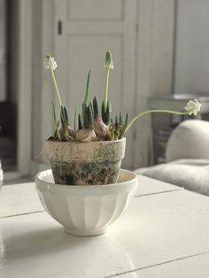 Forced muscari bulbs   Gardenista