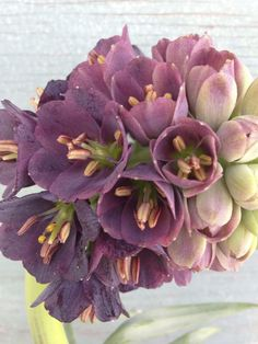 fritillaria-wholesale-suppliers