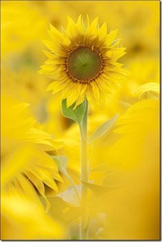 Sunflower - want to grow tons of these.  They make me smile.