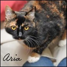 Aria is an adoptable Domestic Short Hair Cat in Birmingham, AL.  Primary Color: Calico Weight: 10 Age: 1yrs 6mths 0wks  Animal has been Spayed...