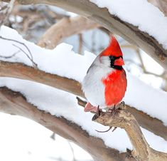 August 2013- This is the rare cardinal photographed in Dr. Larry Ammann's back yard. It is a bilateral gynandromorph – which means it exhibits both male and female characteristics, split down the middle of its body.