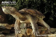snapping+turtles | Common snapping turtle (Chelydra serpentina)