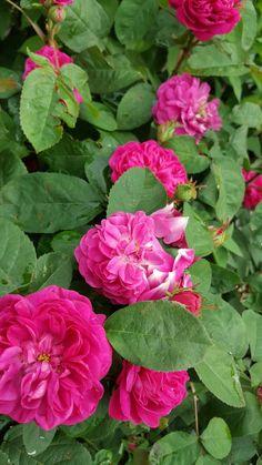 Rose de Resh