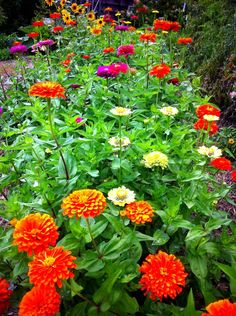 zinnias mixed colors large double zinnias great for butterfly gardens and cut flower gardens