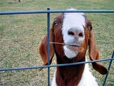 How To Raise Boer Goats