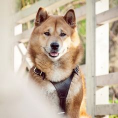"""""""Gekuto"""" photo by Agaeva Jamila #dog #shiba"""