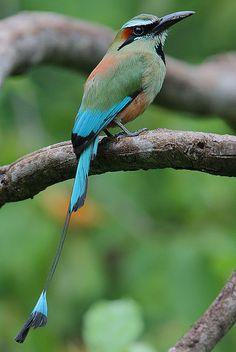 Turquoise-browed Motmot (Eumomota superciliosa), Costa Rica