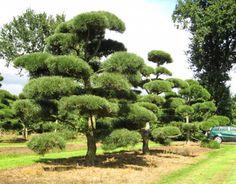 Stedsegrønne træer og buske - Stedsegrønne træer og buske