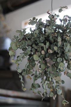 Eucalyptus. <3