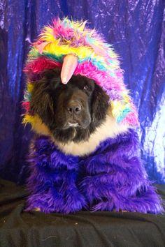 Notta Bear Newfoundlands Trendy is the saddest little unicorn in her halloween dog costume. Animal Costumes, Dog Costumes, Dog Photos, Dog Pictures, I Love Dogs, Cute Dogs, Cute Dog Halloween Costumes, Animal Humour, Newfoundland Dogs