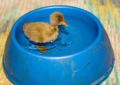 Ducky :) ponds, keep swimming, baby ducks, pet, dog bowls, bath, pools, friend, animal