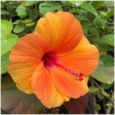 Hibiscus flower @kuwaitzoo