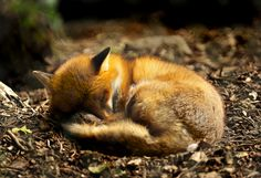 Fox Pictures Will Make You Fall In Love with Them - Tail and Fur 40 Fox Pictures Will Make You Fall In Love with Them - Tail and Fox Pictures Will Make You Fall In Love with Them - Tail and Fur Cute Creatures, Beautiful Creatures, Animals Beautiful, Sleeping Animals, Sleeping Puppies, Animals And Pets, Baby Animals, Cute Animals, Anime Animals