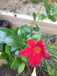 Dipladenia (dipladenia hybrid): This appears to be Dipladenia. This is a red or pink 5-petaled flowering vine appears to be a similar to a Mandevilla, except the Dipladenia will grow as a shrub if pruned, as well as a vine.  This tropical is very drought tolerant and likes sun.