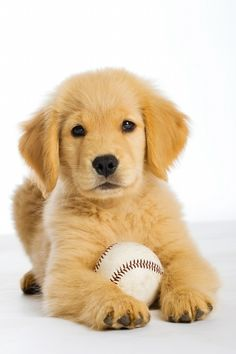 Golden Retriever puppy and baseball