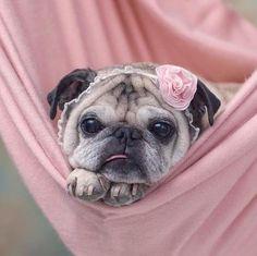 Pink pug.