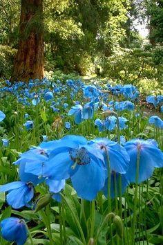 Himalayan Blue Poppies - Meconopsis betonicifolia.