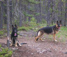 My hiking crew . . . #gearmongrel #gsdfollowers #gsd #germanshepherd #germanshepherdlovers #germanshepherdofinstagram #gsdofinstagram #hiking #outdoors #trees #dogsofinstagram #trekking #woods #dogs