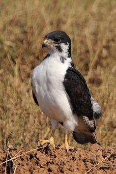 Auger Buzzard -Ethiopiato S. Angola& C.Namibia
