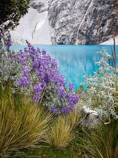 Lupines and the beautiful turquoise glacier-fed waters of Laguna 69, Cordillera Blanca, Peru. Photo: Jack Brauer.