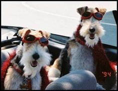 Wire Fox Terrier Community on Facebook Book me fur a ride with those happy Faces!! ♥..♥ ♥..♥