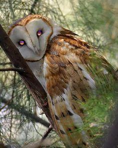 Barn Owl Beauty thanks to Wayne Nowazek