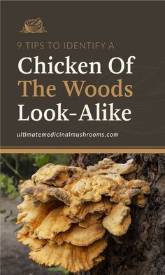 If you're familiar with Chicken of the Woods Mushroom, you know that it's a tasty variety that is easily spotted in the wild. Or if you haven't tasted this one yet, be sure to look it up next time you'll go out mushroom hunting. And to help you avoid getting the impostors, here are 9 tips to identify Chicken of the Woods look-alike. | Discover more about medicinal mushrooms at ultimatemedicinalmushrooms.com #mushroomidentification #growingmushrooms #medicinalmushroom