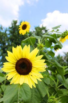 Sunflowers in the backyard  Photography by Sandra Walters